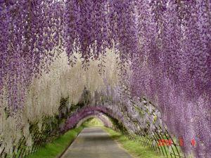 tunel_glicinias_Kawachi_Fuji_03
