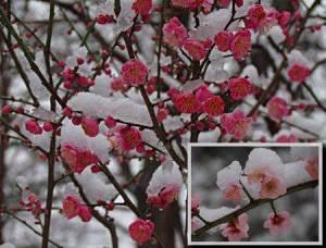 Flores-da-ameixeira2